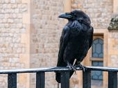 Crows Legend Tower London. Raven At The Tower Of London Perched On Black Iron Railings With Stone Wa poster