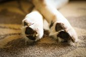 Labrador Pads, Claw And Paws - Sleeping Labrador Dog poster