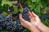 Close Up Of Hands Of A Young Woman With Freshly Delicious Ripe Dark Blue Grapes On Green Leaves Back poster