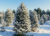 Snow covered trees at a Christmas tree farm. poster