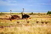 image of fowl  - Ostrich family walking on savanna in Africa - JPG