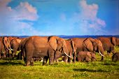 image of tusks  - Elephants herd on African savanna - JPG