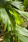 pic of monocots  - Jipijapa palm (Carludovica palmata) is a palm-like monocot plant used for the Panama hats.