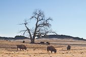 stock photo of cottonwood  - A Buffalo or Bison hanging out in the country Colorado plains with a cottonwood tree - JPG