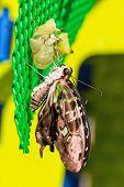 Постер, плакат: Хвостатые Джей graphium Агамемнон Агамемнона бабочка