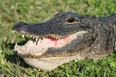 picture of alligators  - American Alligator  - JPG
