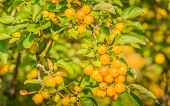 stock photo of hornets  - Branch with yellow Crab Apples Golden Hornet in sunlight - JPG