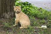 image of hairy tongue  - Lovely orange cat looking into the camera with tongue sticking out - JPG