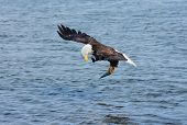 stock photo of snatch  - Bald Eagle in Flight - JPG