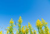 image of goldenrod  - This is a photo of a blue sky and goldenrod - JPG