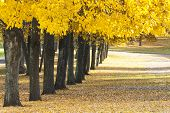 picture of row trees  - Many trees with colorful yellow leaves grow in row in a park at autumn - JPG