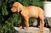foto of vizsla  - Puppy of nice Hungarian Short - JPG