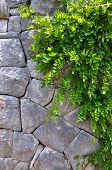 Old Stone Wall And Green Creeper Plant - Vertical Picture.