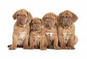 picture of dogue de bordeaux  - Dogue de Bordeaux 9 months old sitting in front of white background - JPG