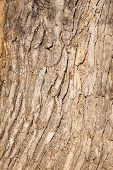 image of pecan tree  - rough brown bark of deciduous tree texture - JPG