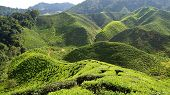 picture of cameron highland  - Landscape with tea plantation Cameron highlands - JPG