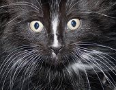 picture of puss  - close up of a cat - JPG