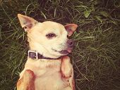 a cute tiny chihuahua in the grass done with a vintage retro instagram filter