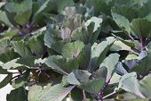 picture of kohlrabi  - purple kohlrabi Growing In Vegetable Garden close up - JPG