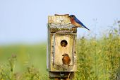 stock photo of bluebird  - Eastern Bluebirds feeding their babies on a bright spring day - JPG
