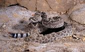 stock photo of western diamondback rattlesnake  - Portrait of a Western Diamondback Rattlesnake coiled to strike - JPG