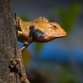 stock photo of lizard skin  - Brown lizard - JPG