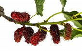 pic of mulberry  - branch of mulberry on the white background - JPG