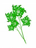image of chinese parsley  - Vegetable and Herb Vector Illustration of Bunch of Fresh Parsley Used for Seasoning in Cooking - JPG