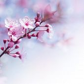 picture of sakura  - Beautiful tender cheery tree flowers border - JPG