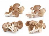 picture of edible mushrooms  - Fresh oyster mushroom  isolated on white background - JPG