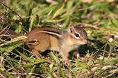 picture of chipmunks  - Eastern Chipmunk (Tamias striatus) in the grass