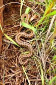 stock photo of winnebago  - Brown Snake (Storeria dekayi) in northern Illinois in a prairie.