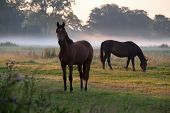 pic of pastures  - horses grazing on pasture at misty sunrise - JPG