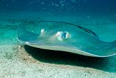 foto of stingray  - Southern Stingray  - JPG
