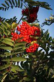 picture of rowan berry  - Rowan berries Sorbus aucuparia glow red in September - JPG