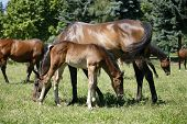 stock photo of mare foal  - Thoroughbred mare and foal grazing in pasture following mother - JPG