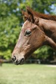 Portrait of a pretty purebred foal in summer pasture poster