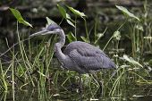 pic of bluegill  - A Great Blue Heron looks for something to eat - JPG