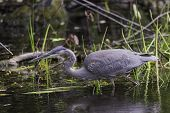 pic of bluegill  - A Great Blue Heron looks for something to eat