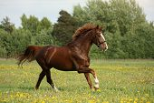 foto of chestnut horse  - Chestnut beautiful horse galloping at the meadow with flowers - JPG