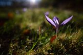 picture of monocots  - autumn crocuses on mountain pasture - JPG