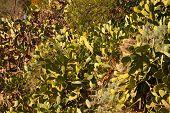 pic of prickly-pear  - View of Prickly pears plant in leonforte - JPG