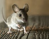 stock photo of mouse  - House Mouse eating bread shard from the floor.