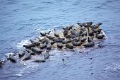 Grey Seal Rookery