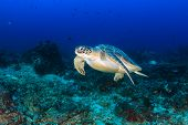 image of green turtle  - A Green Turtle swimming above a deep tropical coral reef - JPG