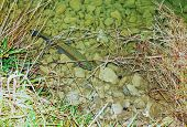 picture of brook trout  - Large trout in a clear mountain stream - JPG