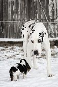 stock photo of gentle giant  - Big and Little, or the Gentle Giant, a Great Dane, looks down at a Basset Hound puppy.