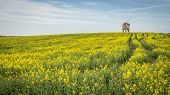 pic of rape-field  - Chesterton Mill pictures in rape seed field in leamington in the uk - JPG