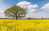 picture of rape  - Rape seed crop fields based in the uk - JPG