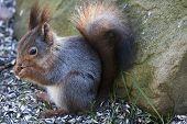 pic of feeding  - a red european squirrel feeding on sunflower seeds  - JPG